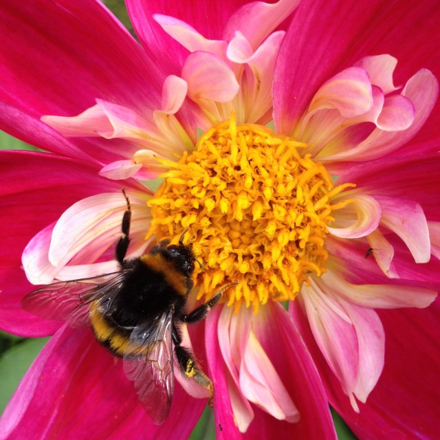 """Bee pollinating a dahlia flower"" stock image"