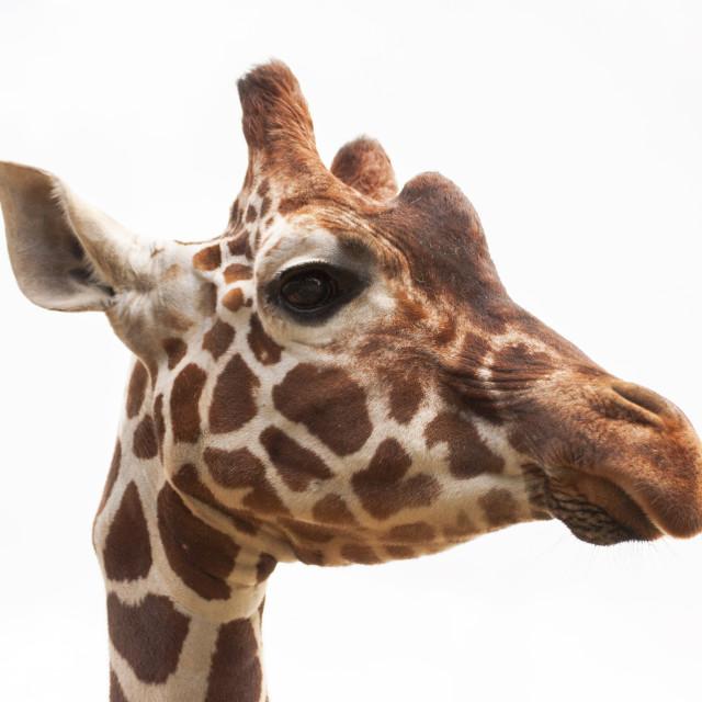 """Giraffe, white sky 2"" stock image"