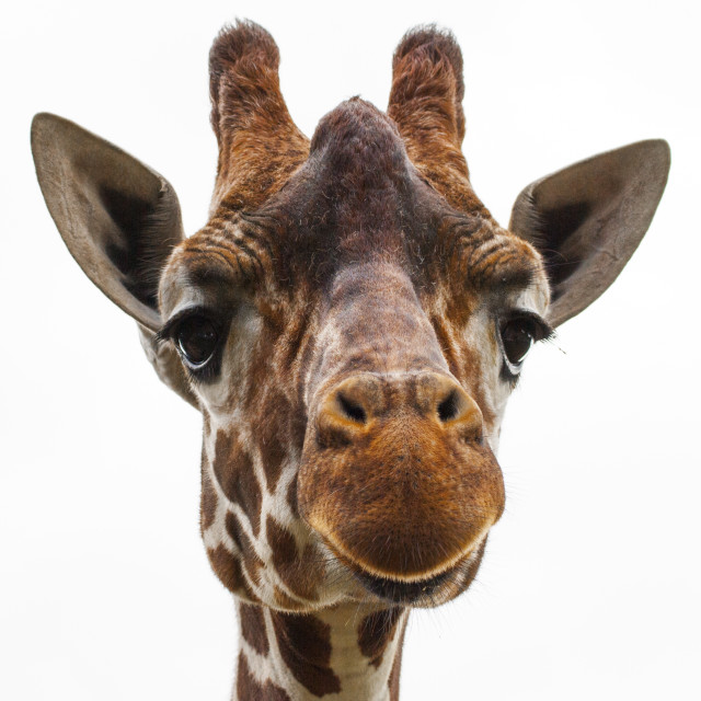 """Giraffe, white sky 3"" stock image"