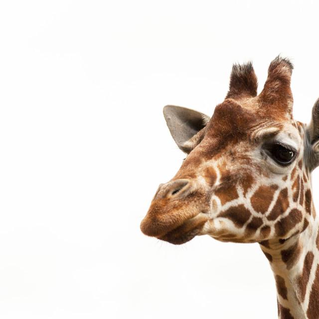 """Giraffe, white sky 4"" stock image"