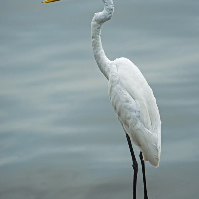 """Great white Egret (Ardea alba) (XVI)"" stock image"
