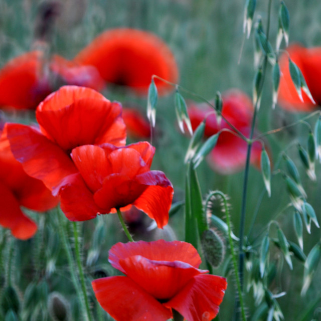 """""""Field poppies in the breeze"""" stock image"""
