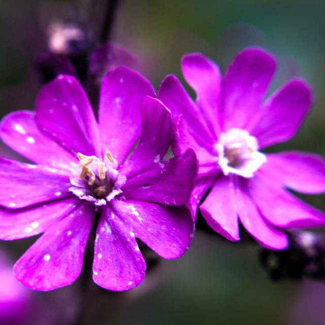 """Field flowers"" stock image"