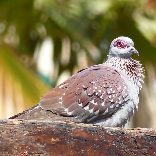"""""""Speckled pigeon, Gambia"""" stock image"""