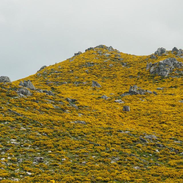"""Hillside of Flowering Gorse, Galicia"" stock image"