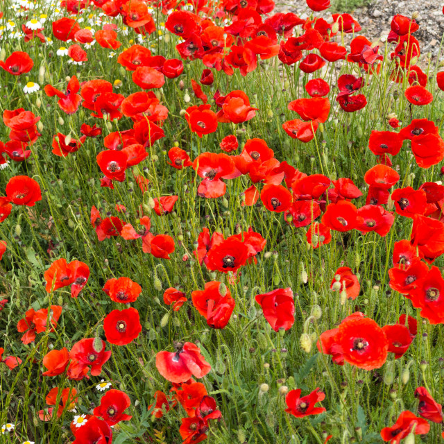 """Roadside Poppies, Spain"" stock image"