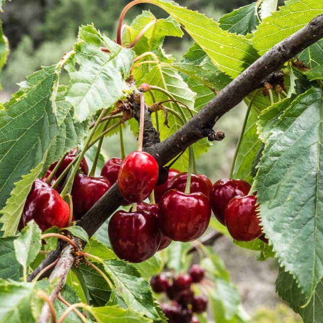 """""""Bunch of Cherries"""" stock image"""