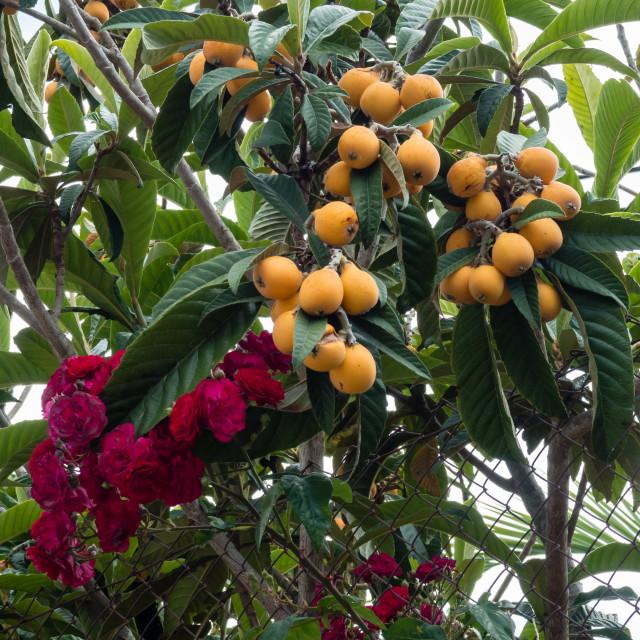 """Loquat or Nispero Fruit"" stock image"