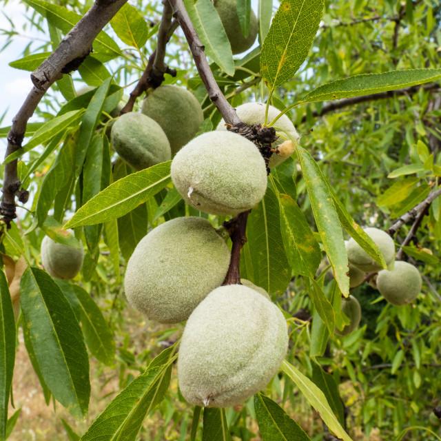 """Almonds"" stock image"