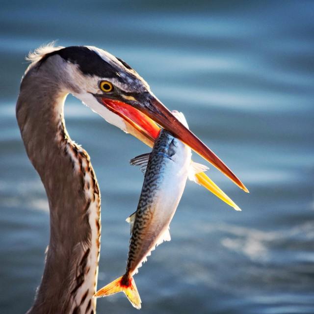 """Great Blue Heron Series"" stock image"