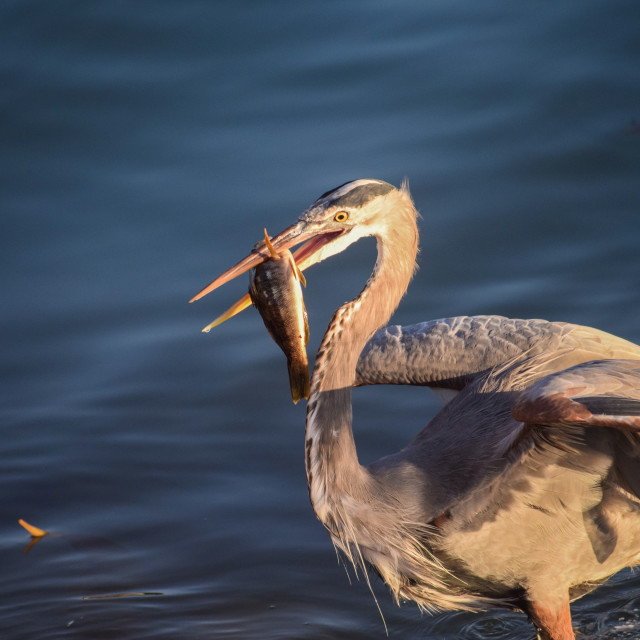 """Great Blue Heron Series"" stock image"
