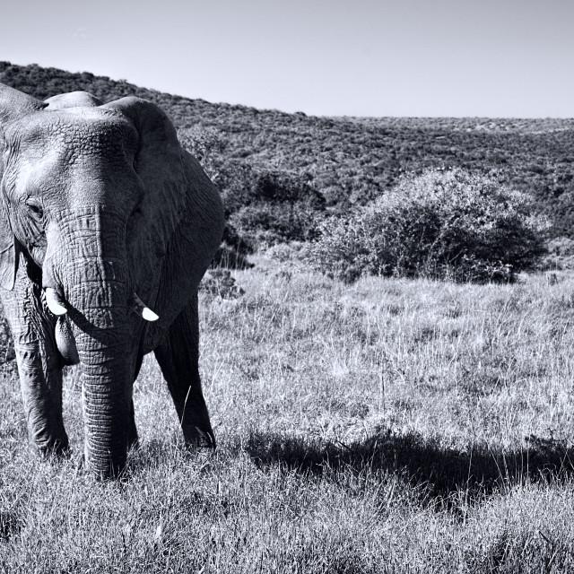 """Pair of Elephants"" stock image"