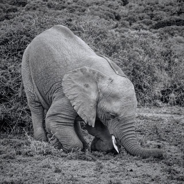 """Elephant digging"" stock image"