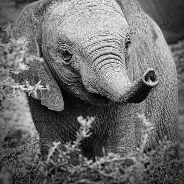 """Baby Elephant"" stock image"