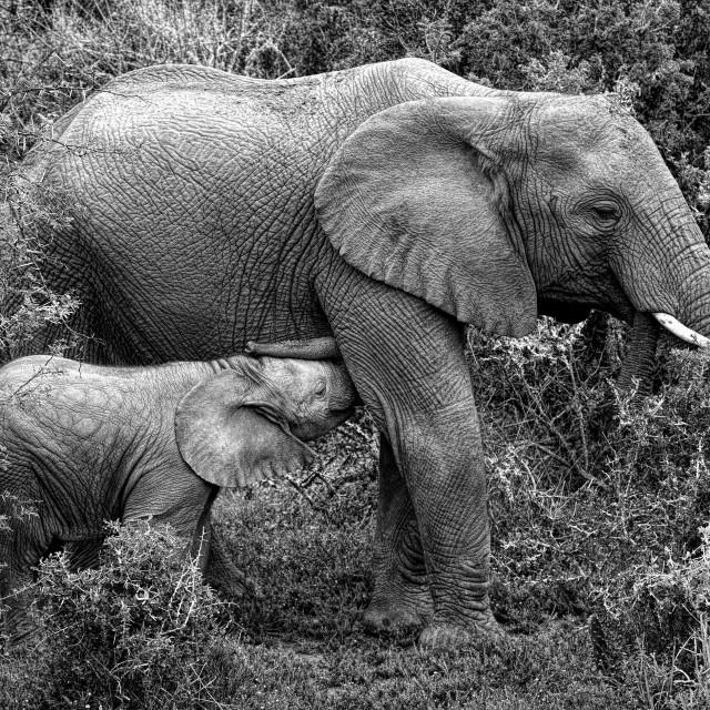 """""""Nursing elephant"""" stock image"""