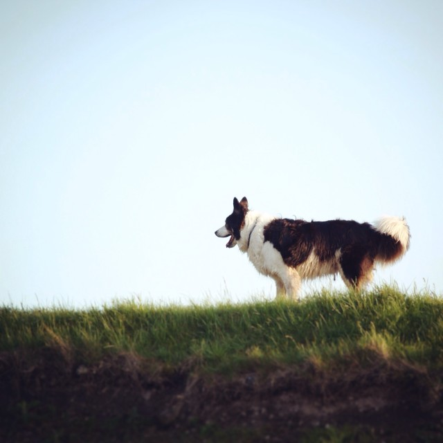 """""""Collie dog on a grass bank"""" stock image"""