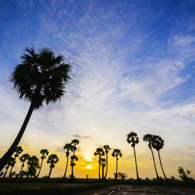 """sunrise on the palm tree field"" stock image"