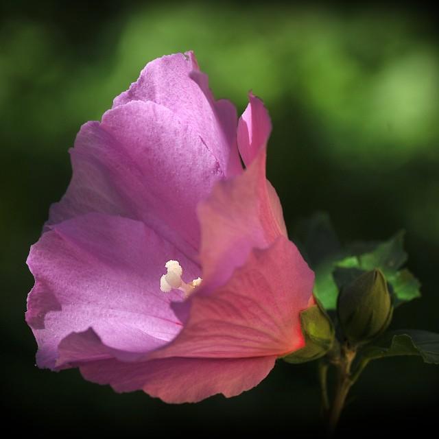 """""""Hibiscus syriacus 1"""" stock image"""