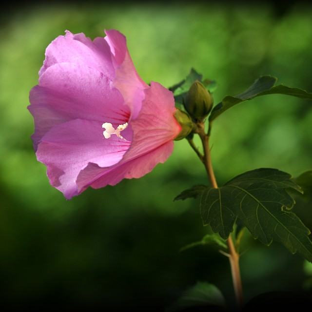 """""""Hibiscus syriacus 2"""" stock image"""