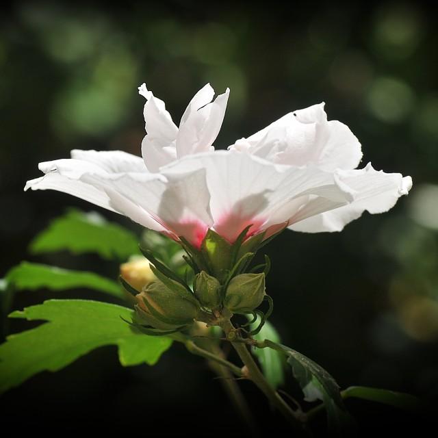 """White Hibiscus"" stock image"