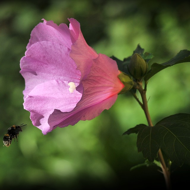"""""""Flower and bumblebee"""" stock image"""