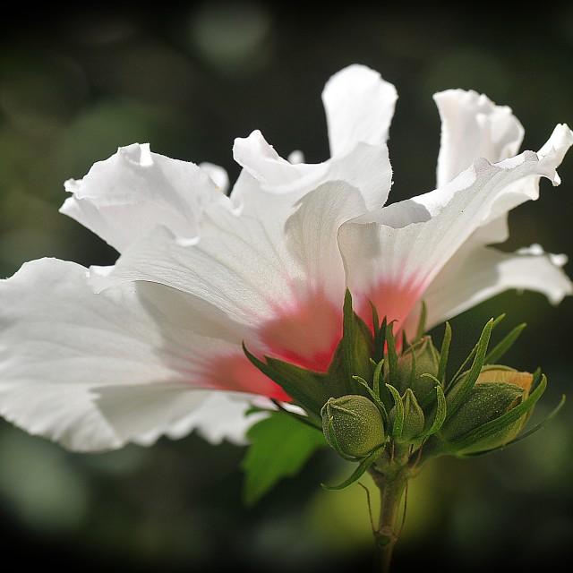 """The white Hibiscus"" stock image"