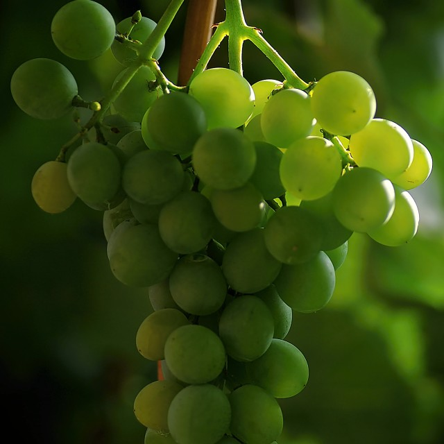 """The bunch of grapes 1"" stock image"