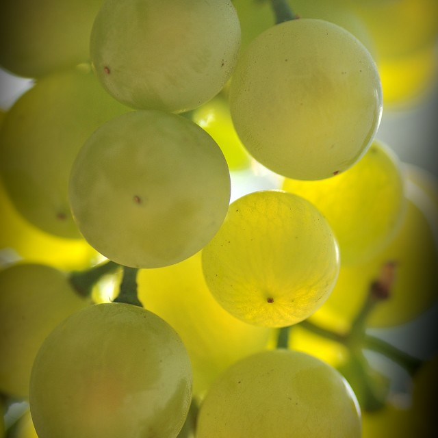 """""""the Bunch of grapes 3"""" stock image"""