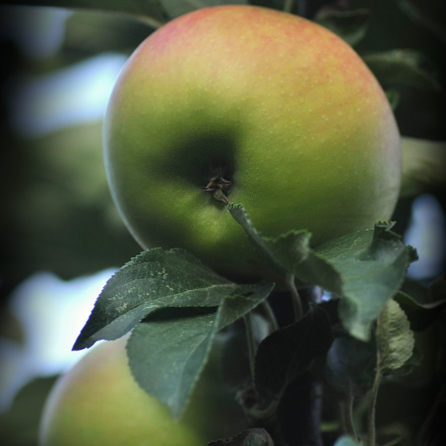 """""""The apples 3"""" stock image"""
