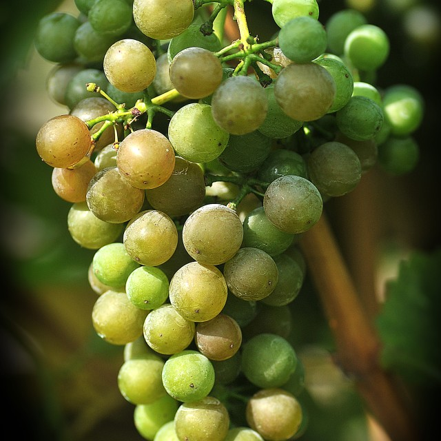 """""""The bunch of grapes 6"""" stock image"""