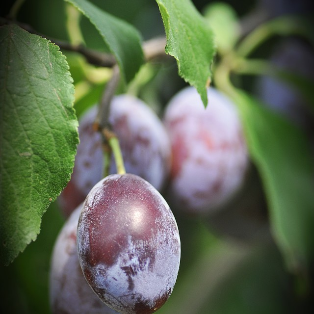 """""""the Plums"""" stock image"""