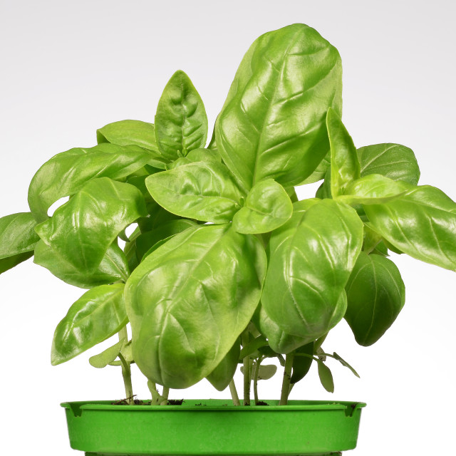 """Basil Plants"" stock image"