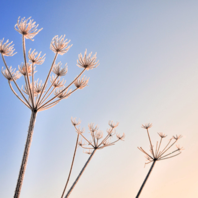 """umbellifers in winter"" stock image"
