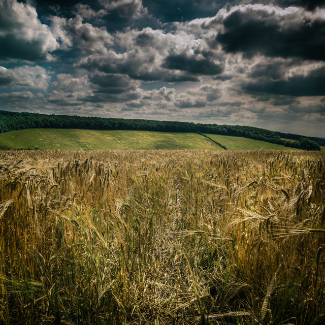 """Fields of Gold"" stock image"