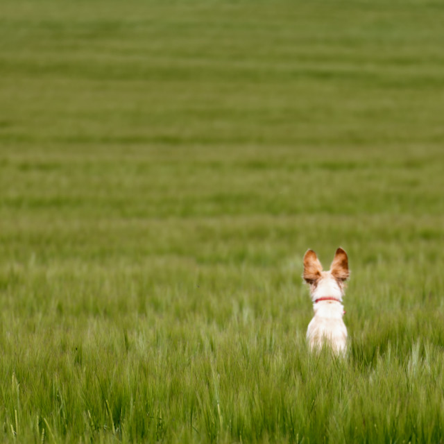 """Puppy lost in field"" stock image"