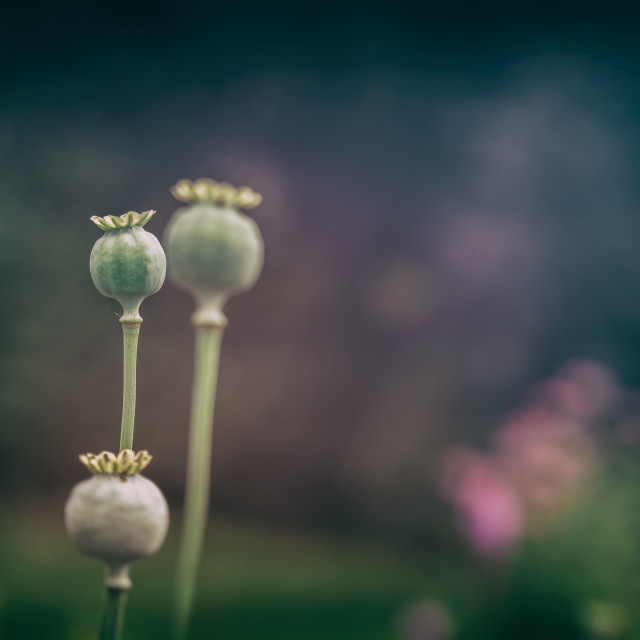 """Poppy Pods"" stock image"