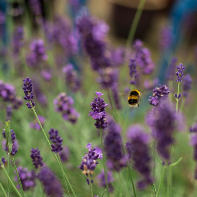 """""""Bee amongst the lavender"""" stock image"""