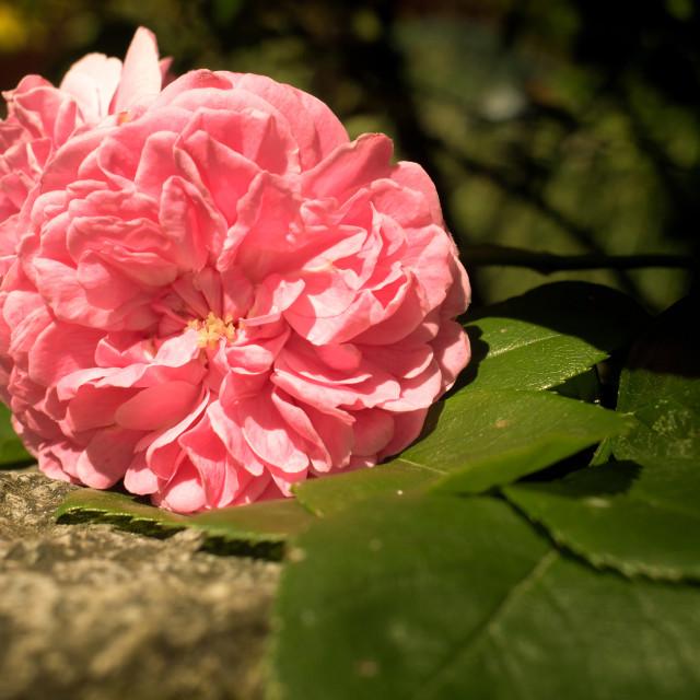 """Damask Rose"" stock image"