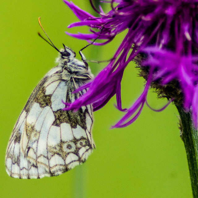 """""""Marbled White"""" stock image"""