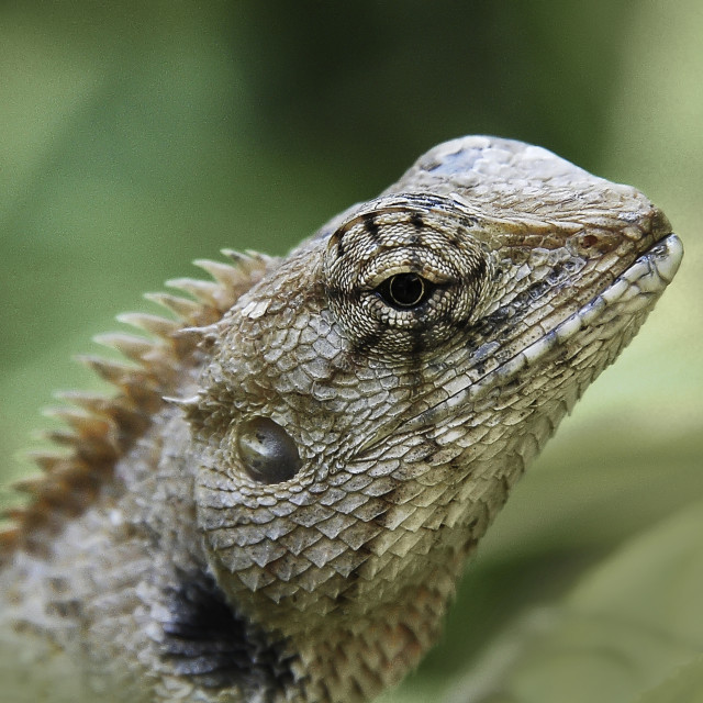 """Eye of the Lizard"" stock image"