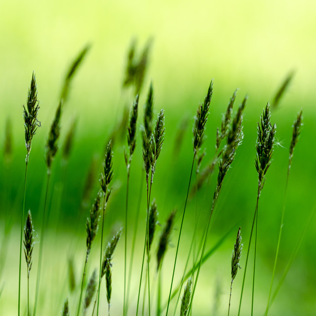 """""""Grasses Of The Field"""" stock image"""