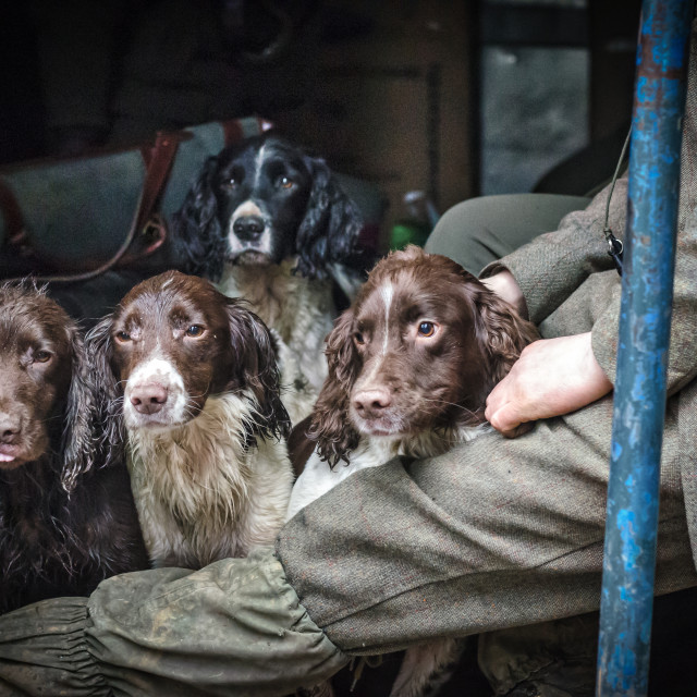 """The Keeper & His Spaniels"" stock image"