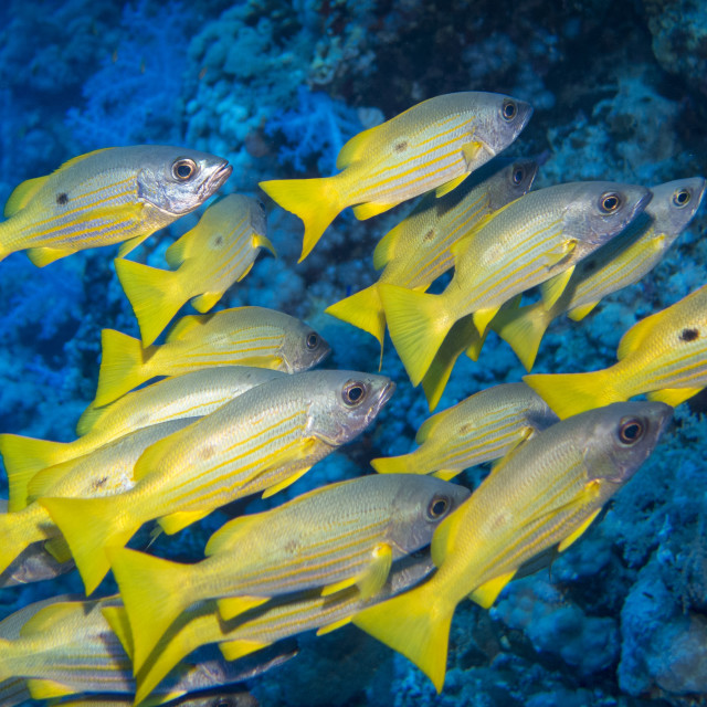 """Snappers"" stock image"