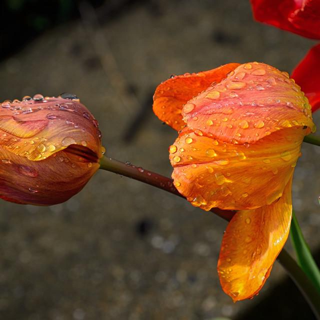 """Wet Tulips"" stock image"