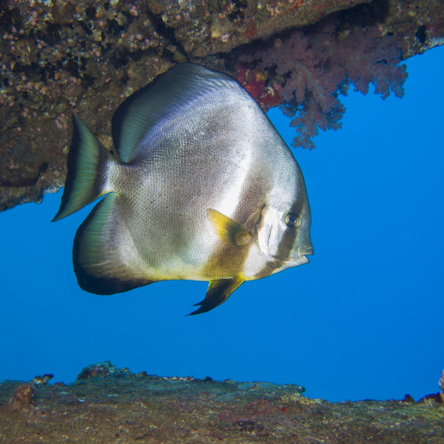 """Batfish inside a wreck in the Red Sea"" stock image"