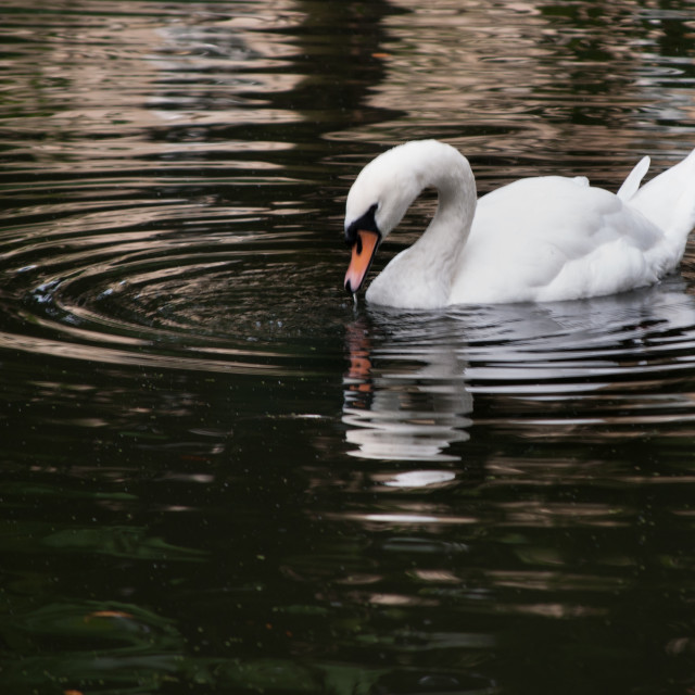 """""""Worcester College swan"""" stock image"""