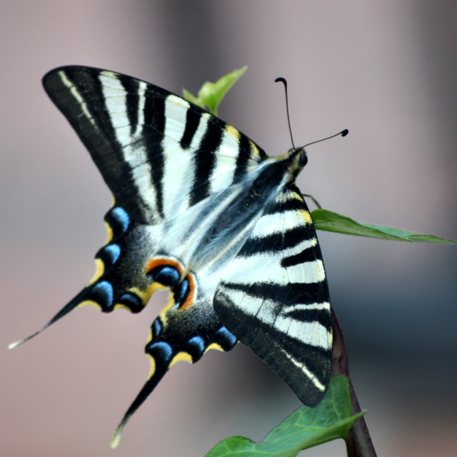 """Zebra Swallowtail"" stock image"