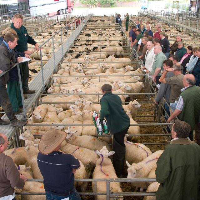 """Sheep Sale"" stock image"