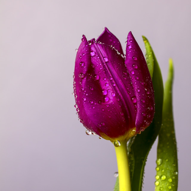"""Tulip with water drops"" stock image"