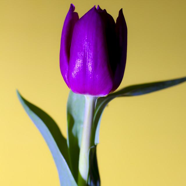"""Tulip on yellow"" stock image"